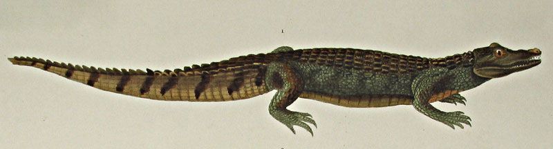 Crocodilus sclerops from Cuviers Le Regne Animal, Paris 1836. Thanks to Lehigh U., Special Collections !