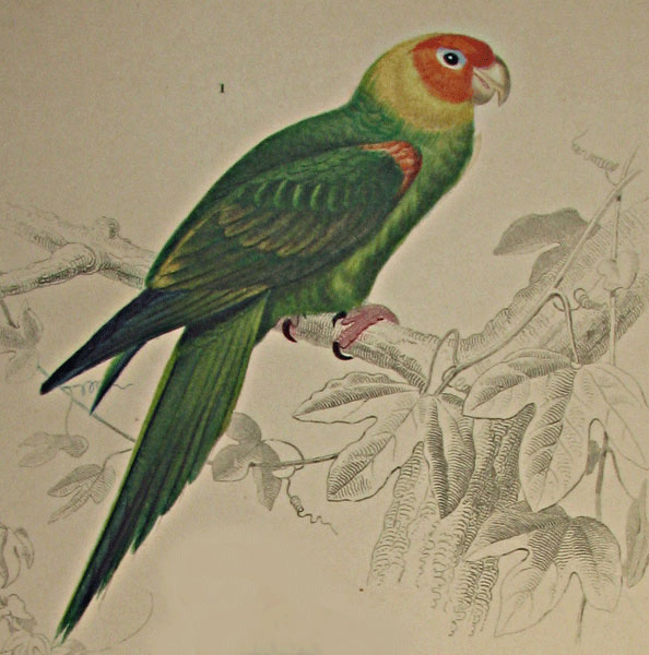 Psittacus Caroline from Charles d'Orbigny's  'Dictionnaire universel d'histoire naturelle, Paris 1869. Thanks to Lehigh U., Special Collections !