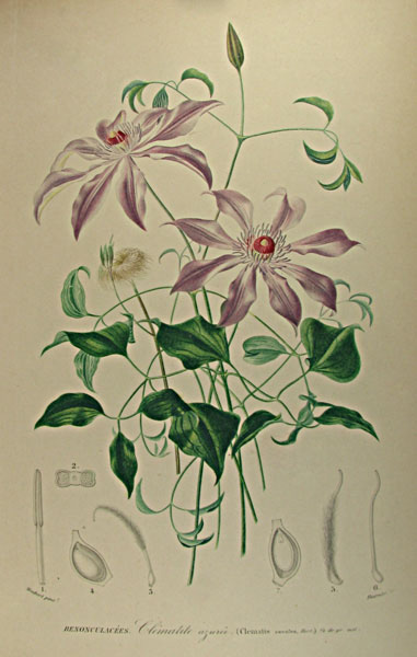 Clematis caerulea from Charles d'Orbigny's Dictionnaire universel d'histoire naturelle, Paris 1867Thanks to Lehigh U., Special Collections !