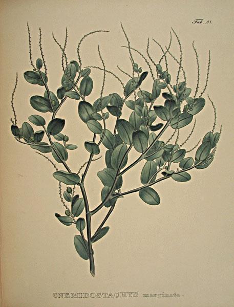 nemidostachys marginata from Martius and Eichler's Nova genera et species plantarum…, Lipsiae 1823-32. Thanks to Lehigh u., Special Collections !