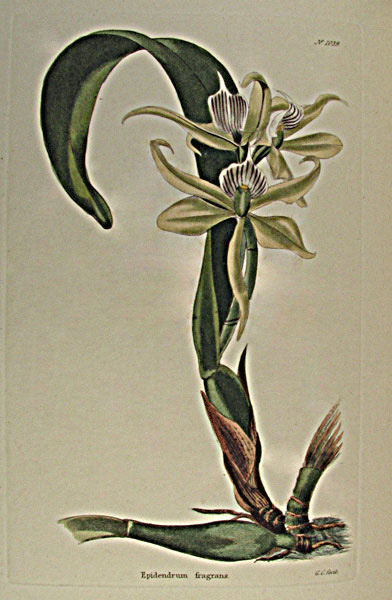 Epidendrum fragrans from Capt. George Cook's Botanical Cabinet 1817. Thanks to Lehigh U., Special Collections !