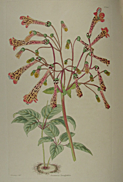 Gesneria Douglassi from Cpat. George Cook's Botanical abinet, London 1817. Thanks to Lehigh U., Special Collections !