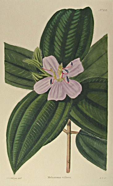 Melastoma villosa from Capt. George Cook's Botanical Cabinet, London 1817. Thanks to Lehigh U., Special Collections !