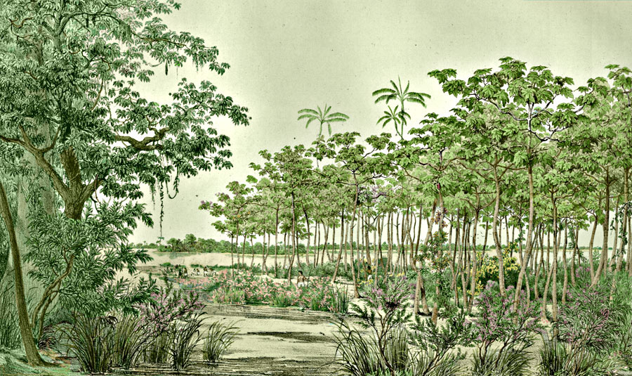 Etching 11 Sandy islands  from Martius's Flora Brasiliensis 1840. Thanks to Lehigh U., Special Collections ! Color by C. Miranda Chor