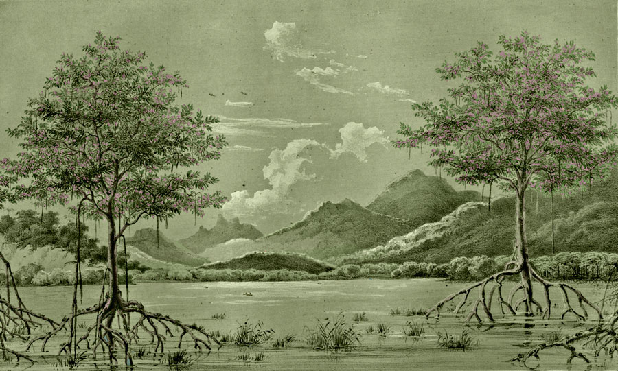 Etching 12 Mangroves from Martius's Flora Brasiliensis 1840. Thanks to Lehigh U., Special Collections ! Color by C. Miranda Chor
