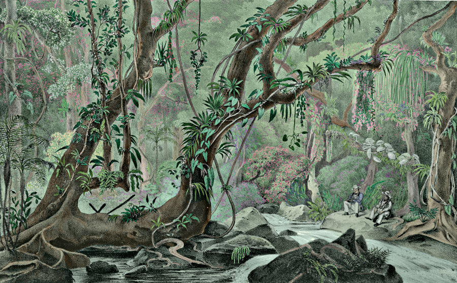 Etching 30  Ancient Forest  from Martius's Flora Brasiliensis 1840. Thanks to Lehigh U., Special Collections ! Color by C. Miranda Chor
