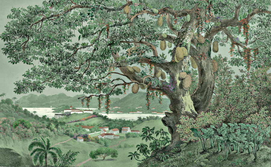Etching 31 Jaca Tree  from Martius's Flora Brasiliensis 1840. Thanks to Lehigh U., Special Collections ! Color by C. Miranda Chor