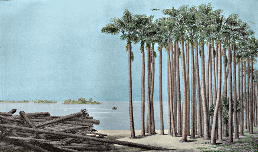 Etching 41  Palm Grove  from Martius's Flora Brasiliensis 1840. Thanks to Lehigh U., Special Collections ! Color by C. Miranda Chor