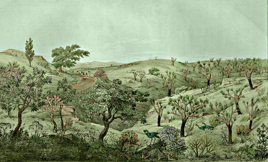 Etching 4 Morro do Gravier from Martius's Flora Brasiliensis 1840. Thanks to Lehigh U., Special Collections ! Color by C. Miranda Chor