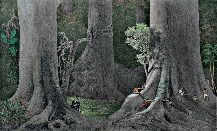 Etching 9 Ancient trees from Martius's Flora Brasiliensis 1840. Thanks to Lehigh U., Special Collections ! Color by C. Miranda Chor